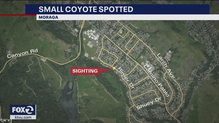 Coyote approaches residents in Moraga