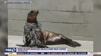 Rise in entangled seals and sea lions