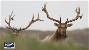 California wildfires and dwindling water supply threatening Tule elk