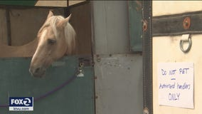Cow Palace a 'modern day Noah's Ark', takes in evacuated livestock
