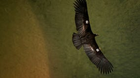 Fate of California condors unknown after sanctuary burns