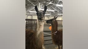 From chickens to llamas, Cow Palace sheltering animals displaced by Bay Area wildfires
