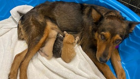 Rescue dog adopts kittens after the tragic death of her own puppies
