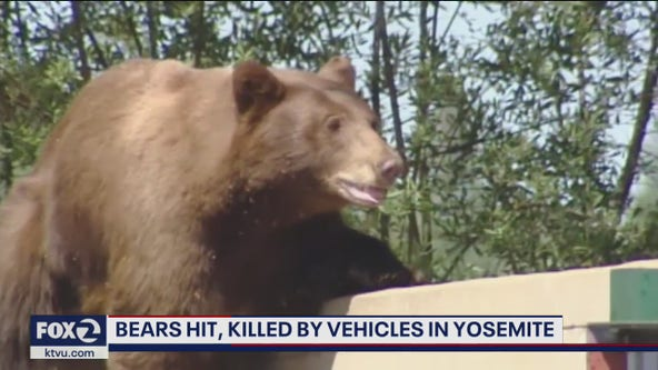 4 bears hit by vehicles, 2 killed, in Yosemite National Park
