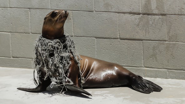 Marine biology experts concerned following series of animal entanglements