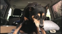 Elderly dog with the 'cutest shuffle' rescued from being euthanized after CA wildfires burned home