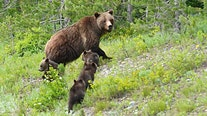 Grizzly bear fatally mauls hunter at largest US national park