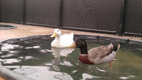 Two ducks that survived CZU fires available for adoption