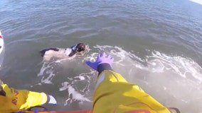 Lifeboat crew saves dog who swam out to sea to 'chase seagulls'