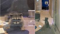 Raccoons break into Redwood City bank