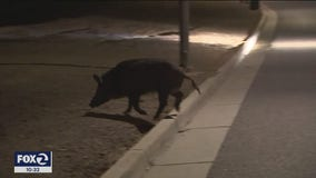 Neighbors say wild boars are ransacking yards like never before