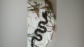 Woman finds 2-headed snake in her house