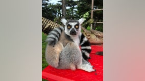 Lemur theft suspect ordered to stay away from California zoo