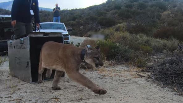 'This is the goal': Mountain lion burned in California wildfire released after month of treatment