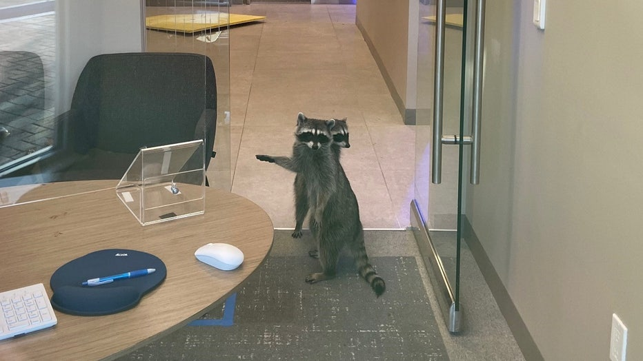 racoons-in-bank-storyful-2.jpg