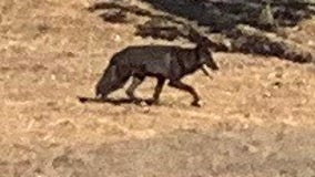 Wolf-dog hybrid still on the loose in San Benancio area