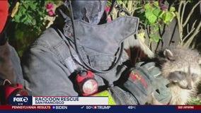 Raccoon rescued in San Francisco