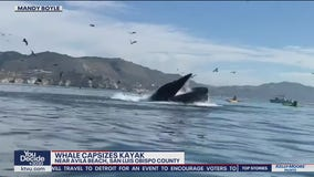 Humpback whale flips kayak, forces two underwater off Central Coast