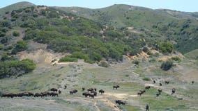 Bison plan for California's Catalina Island stirs debate