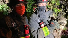 Firefighters rescue baby raccoon wedged in tree, name it 'Freedom'