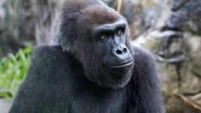Beloved gorilla 'Zura' dies at San Francisco zoo