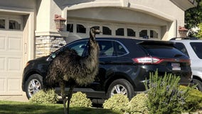 Pleasanton animal services seeks owner of emu found wandering through suburb