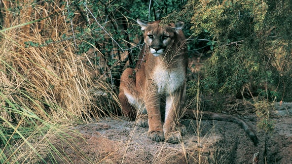 Mountain lion spotted in backyard of Belmont home