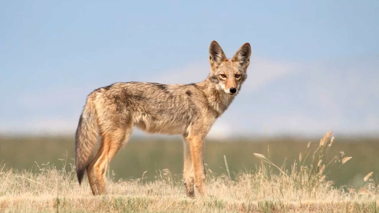 Round-the-clock effort to catch coyote after 5th East Bay attack