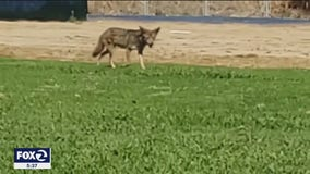Same coyote linked to two Moraga attacks