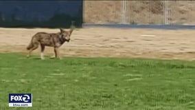 Coyote bites grocery store employee's leg in Lafayette