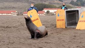 Rescued sea lion makes 'miraculous recovery' after shark bite, poisoning