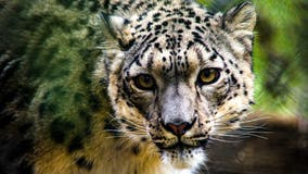 Snow leopard at Louisville Zoo tests positive for coronavirus; test results pending for 2 others