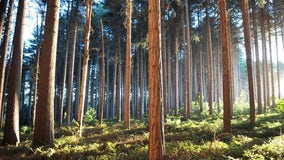 3 Sierra sugar pines added to list of 6 largest in the world