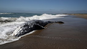 Gray whale population drops by nearly 25% off U.S. West Coast