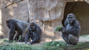 Gorilla troop at San Diego Zoo tests positive for COVID