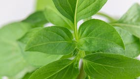 Fresh basil recalled over cyclospora concerns, FDA says