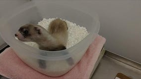 Scientists clone first US endangered species, a black-footed ferret