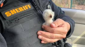 Deputies help rescue baby owl that lost its home