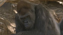 Great apes at San Diego Zoo receive COVID-19 vaccine