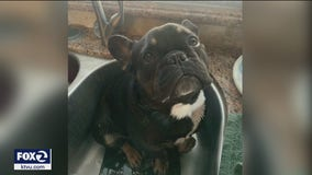 Another French bulldog stolen, this time in San Jose