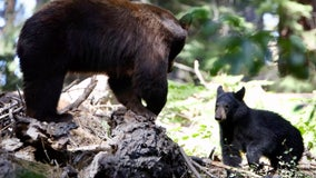 A mysterious disease is killing young bears in the Sierra Nevada