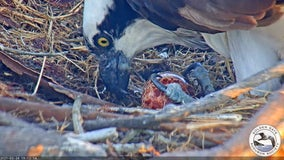 Osprey pair on Richmond shipyard crane welcome their first egg of the year