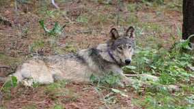 Rare gray wolf from Oregon travels 'significant distance,' south into Central California