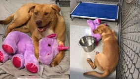 Stray dog gifted stuffed unicorn after 'consistently' stealing it from dollar store