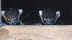 San Jose's Happy Hollow welcomes newborn twin lemurs