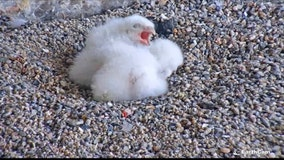 Family of peregrine chicks hatched atop PG&E headquarters in San Francisco