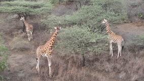 Endangered giraffes rescued from shrinking, flooded island in Kenya