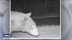 Sonoma County neighborhoods are buzzing with bears