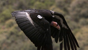 Flock of giant California condors trash woman's yard
