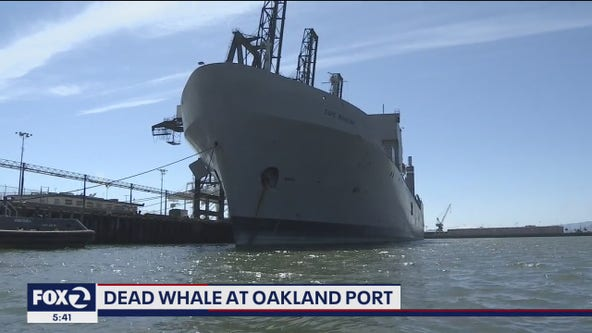 Dead whale gets lodged between pilings at Port of Oakland